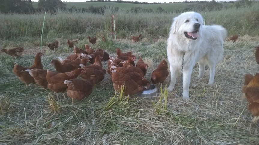 Tom the Maremma and his Girls!