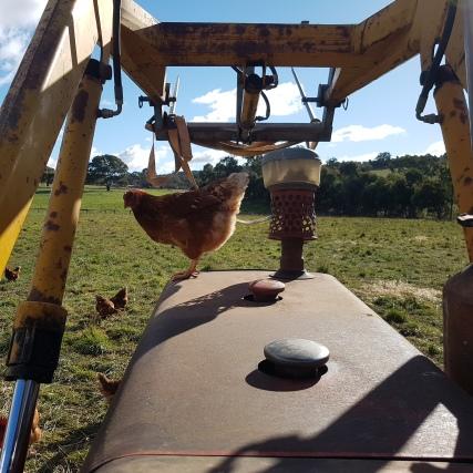 Chicken on tarctor